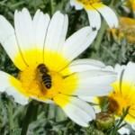 ромашка счастье жизнь пчела